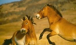 stallions_play