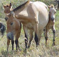 mare_foals